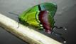Mariposa Evenus